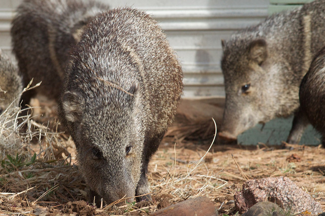 Interesting Stuff with Ole Olafson: All about javelinas