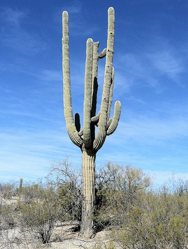 The Saguaro cactus, exclusive to the Sonoran desert, is an instantly recognizable Arizona icon.