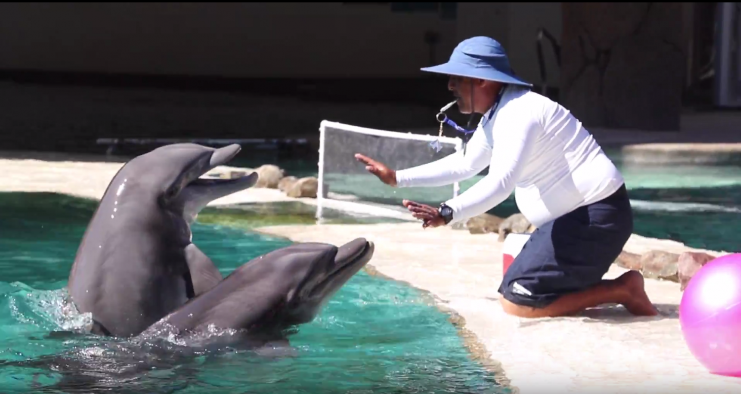 A trainer at Dolphinaris whistles the dolphins to stay in one place