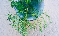 Herbs Help Battle Influenza