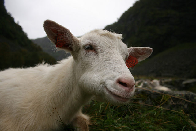 """Goat yoga, combines therapy of """"creature"""" calming with ancient discipline"""