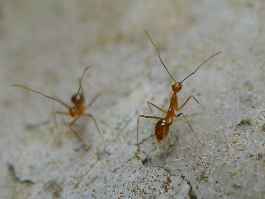 Yellow+crazy+ant